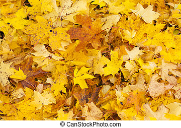 Beautiful autumn park with yellow maple leaves.