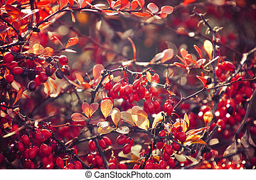 autumn red bush barberry in the rays of the morning sun,