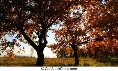 autumn trees with sun shining - dolly shot