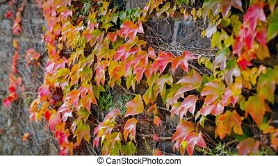 Beautiful autumn wall of red ivy leaves - Closeup of...