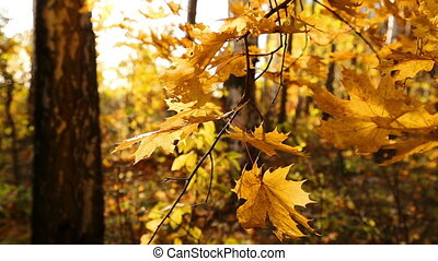 beautiful autumn yellow leaves and sun
