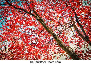 Beautiful, autumnal red Japanese maple tree canopy as beautiful background