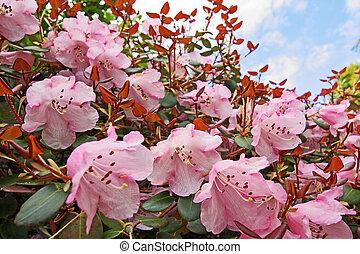 Beautiful azalea flowers in the park