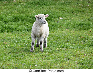 Beautiful Baby Lamb Standing in a Grass Field