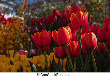 beautiful background backdrop with group of bright colorful tulips in the garden. Natural Light Selective Focus