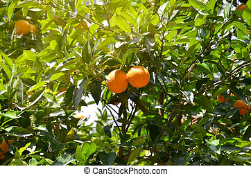 Beautiful background - green branches of orange tree and orange fruit
