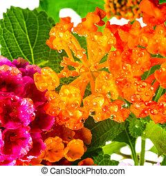 beautiful background of colorful Lantana camara flower with dew,