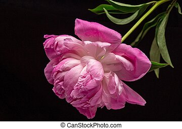 Beautiful background with pink peony flower
