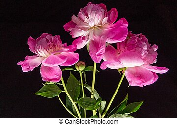 Beautiful background with pink peony flowers