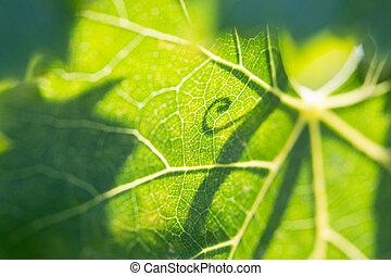 Beautiful Backlit Grape Leaf With Shadow of Vine.