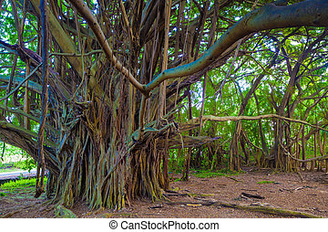 Beautiful banyan tree - Giant banyan tree in Hawaii