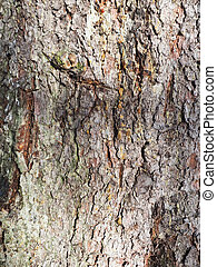 beautiful bark of spruce on a tree. background