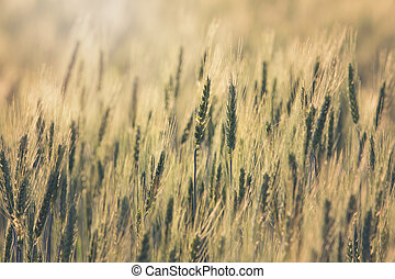 Beautiful Barley field at sunset time