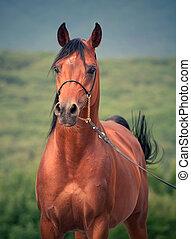 Beautiful bay arabian stallion in the cloudy day
