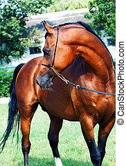 Beautiful bay arabian stallion