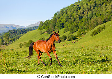 beautiful bay horse of the Arab breed to stand on a green ...