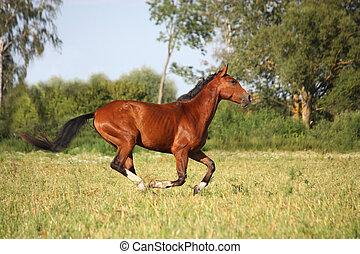 Beautiful bay horse running at the field - Beautiful bay...