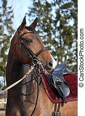 Beautiful bay horse with bridle portrait - Beautiful latvian...