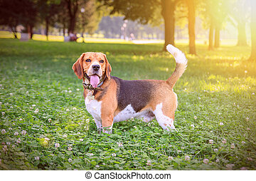 Beautiful beagle dog in the park on sunset