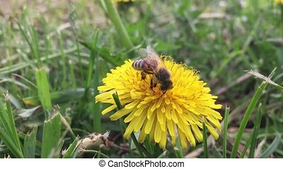 Beautiful bee. bee collects nectar on dandelion, yellow dandelion, flower, green grass, nature yellow pollen