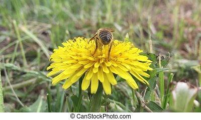 Beautiful bee. bee collects nectar on a nature dandelion,...