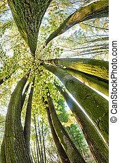 Beautiful beech canopy