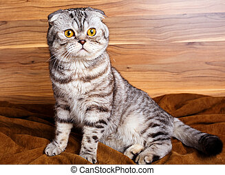 bicolor stripes cat with yellow eyes Scottish Fold
