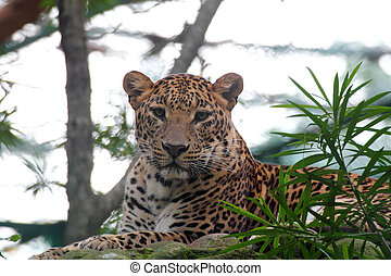 beautiful big cat leopard resting while staring at the camera in a national park wildlife reserve