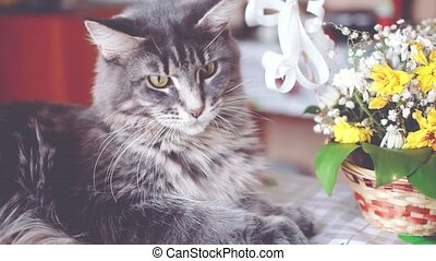 Beautiful big Maine Coon cat lying near the basket with beautiful flowers.