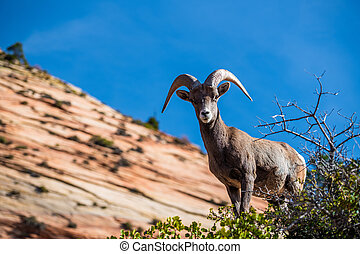 Beautiful Bighorn Sheep standing cliffside along the Superstition Mountains at Zion National Park, Utah