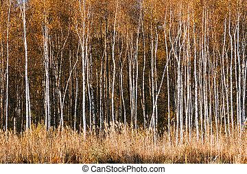 Beautiful Birch forest in autumn season.