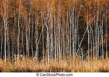 Beautiful Birch Forest In Autumn Season