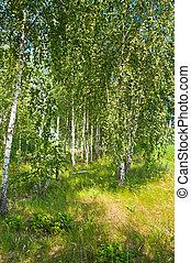 Beautiful birch grove