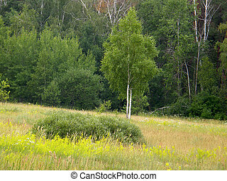 birch on a background of forest in a field.