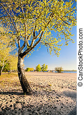 Beautiful birch tree in the golden rays of the rising sun on the beach II