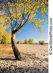 Beautiful birch tree in the golden rays of the rising sun on the beach III