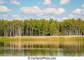 beautiful birch trees on the shore of a calm lake on a sunny day
