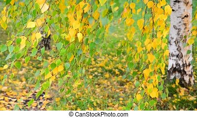 beautiful birch with yellow leaves in autumn, Russia -...