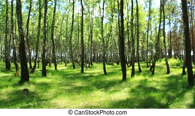 Beautiful birchwood in the spring