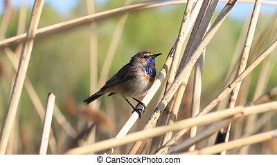 beautiful bird bluethroat sings a spring song
