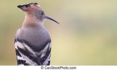 beautiful bird hoopoe on a summer morning, summer period