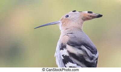 beautiful bird hoopoe summer morning cleans feathers