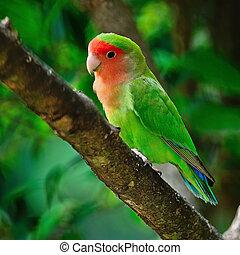 Lovebird - Beautiful bird, Lovebird, standing on the tree ...