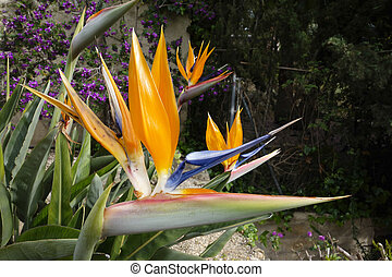 Beautiful Bird of Paradise flowers