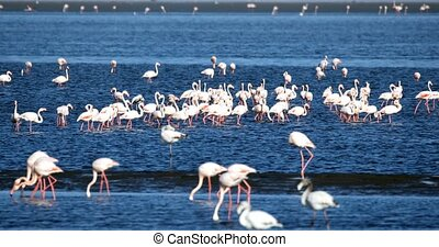beautiful bird Rosy Flamingo in Walvis Bay reservation,...