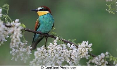 beautiful bird sits among flowering branches
