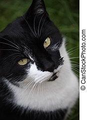 beautiful black and white domestic pet cat