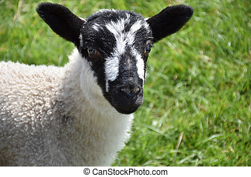 Beautiful Black and White Speckled Lamb in England