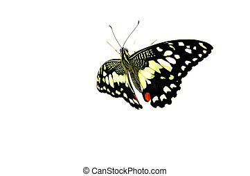 Beautiful Black Butterfly isolated on white background.