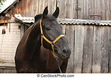 Beautiful black horse portrait at the wooden stable